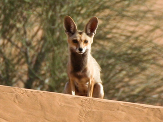Dubai Desert Conservation red fox