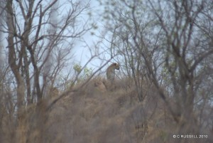more-leopard