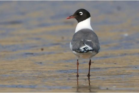 franklin-gull